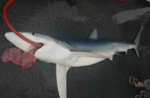 Blue Shark with an evertted stomach.