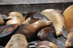 These sea lions are displaying positive thigmotaxis when they lie on top of each other
