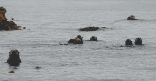 Sea otters around Tebenkof Bay. Note the female in the center of the photograph carrying a baby on her stomach