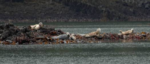 Harbor seals near Kake.