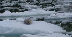 Just one group of many of the seals present in Tracy Arm.