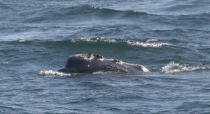 Right whale I saw on 5/28