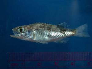 Juvenile Rockfish Sebastes saxicola