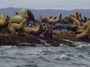 A raft of Steller Sea Lions sunning themselves off the Shumagin Islands.