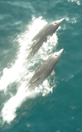 Bottlenose dolphins porpoising in front of the bow of the DAVID STARR JORDAN.