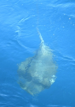 A hooked pelagic ray swims aside the DAVID STARR JORDAN.