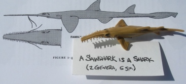 There five known species of sawsharks. They, like most other sharks, have their gill slits on the sides of their head. Also, their pectoral fins are not fully attached to the head.