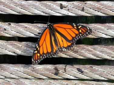 Butterfly on NOAA pier, Woods Hole, MA