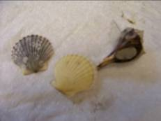 Two-shelled mollusks and a one-shelled mollusk