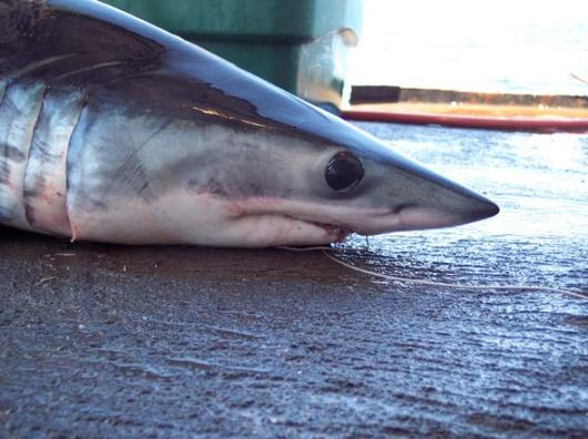 "This Mako shark didn't survive being on the longline. The coloring of the shark is truly beautiful, and their skin is very smooth in one direction, and like sandpaper in the other.  If you look closely, you can see little spots on his nose, which are actually part of his hunting and defense mechanism, and he is able to ""detect"" things in the water from a long way. Makos don't have a protective ""eyelid"", unlike Blue sharks. Karina and João have helped to preserve the jaw, and I cannot wait to show it to my students!"