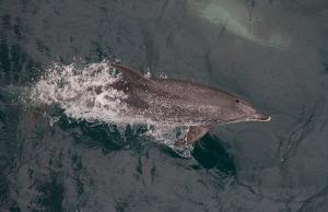 dolphinbottlenose
