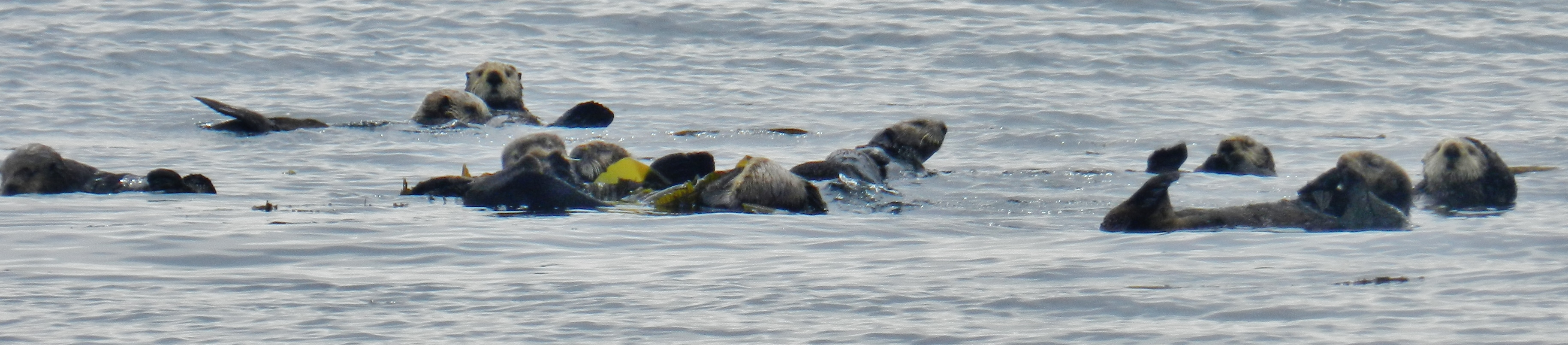 Even the sea otters take some time to relax and enjoy one another's company.