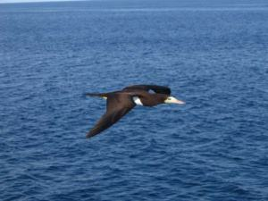 Masked Boobie- these birds fly in front of the ship for hundreds of miles seeking fish.  They will occasionally land on the ship to rest.