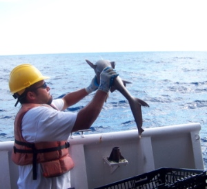 Many grey tipped sharks were brought aboard during the lobster trapping.
