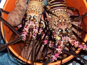Teacher at Sea Chris Monsour captured this image of spiny and slipper lobsters waiting to be processed on board OSCAR ELTON SETTE.  All of the lobsters were released back to a spot near to where they were captured.