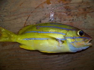 Above is an example of the bluestriped snapper that was caught off of Necker Island. This species has become a nuisance since it was introduced to the Hawaiian Islands.