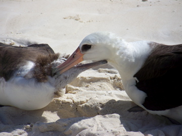 An Albatross preens its young. Lisianski Island is an important nesting area for the Albatross as well as other seabirds.