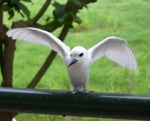 NOAA Teacher at Sea Chris Monsour captured a Fairy Tern displaying its wings during his trip to Midway Atoll.