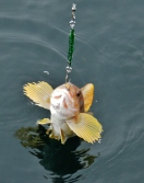 One of Carl's many catches