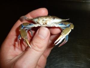 Lesser Blue Crab