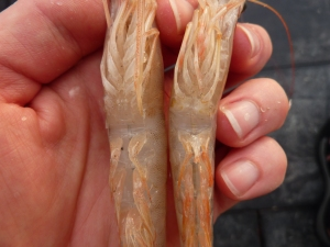 Male and Female Shrimp
