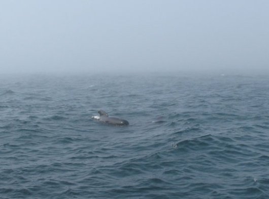 Pilot whale observed in the Gulf of Maine, following our ship.Others were underwater when I snapped the photo!
