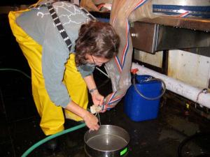 Opening the cod end of net to release plankton
