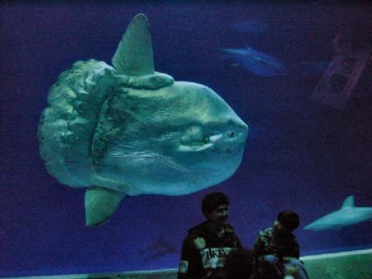 Impressive size and startling appearance make the ocean sunfish a favorite attraction at the Monterey Bay Aquarium.  This photo is freely licensed via Wikimedia Commons and is courtesy of Fred Hsu.