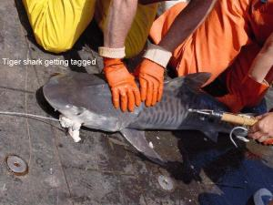 A smaller tiger shark will receive a tag before being released as part of the ongoing Apex predator survey