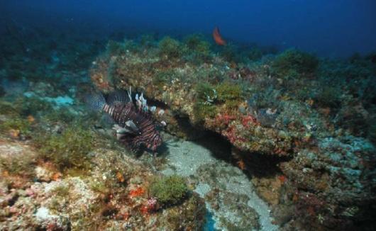 Hard Bottom habitat with lionfish invader.