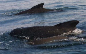 Pilot whales as seen from the zodiac—note the calf in the foreground.  Photo courtesy of Brenda Rone.