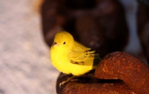 An ill-fated Northern yellow warbler rests on the deck of the DELAWARE II