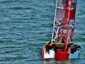 Sea lions basking on a buoy at the entrance to Wrangell Narrows