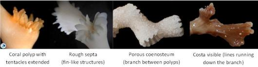 Some additional features that may be found in corals.