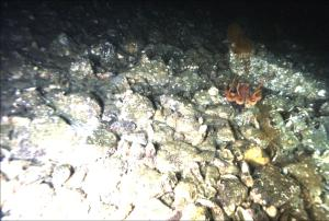 An octopus captured by the DropCam.