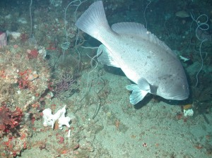 A Warsaw Grouper seen inside the North Florida MPA.