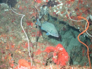 A Speckled Hind seen inside the North Florida MPA.