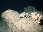 Deep water spider crab