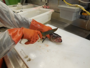 Gloves, a Must in Fish Lab!