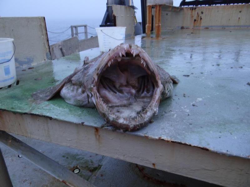 Inside of a Monk Fish Mouth