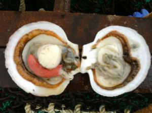 Inside View of a Female Scallop