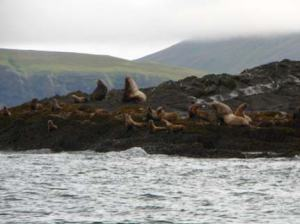 Stellar Sea Lions sun and play on Whaleback.