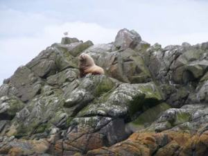 One behemoth sea lion smiles at us as we  drive by!