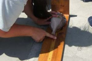 Cece Linder, NOAA scientist, records the full-length measurement of a porgy caught in the fish trap. This is one of three measurements recorded for each fish caught