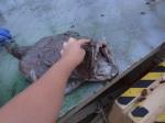 Monk Fish Dangler