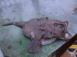 Monk Fish Side View