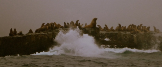 Stellar sea lion reproductive rookery