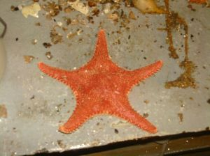 Seastars that came up in the dredge.