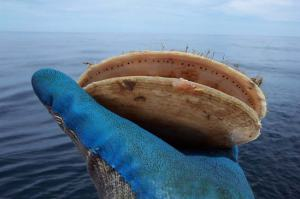 Scallop eyes are visible as rows of dots inside the shell margin.