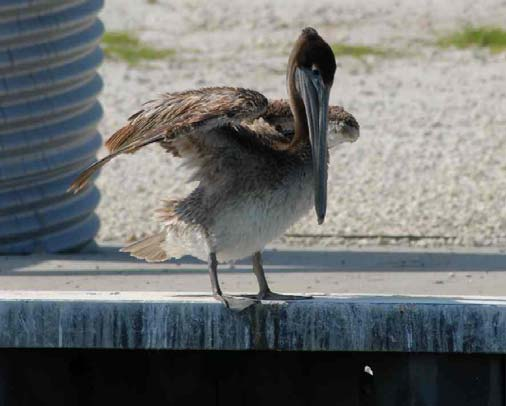 A pelican in the locks in Port Canaveral, FL.